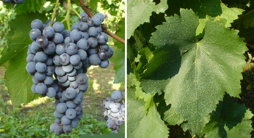 Schiava Grigia - grape and leaf