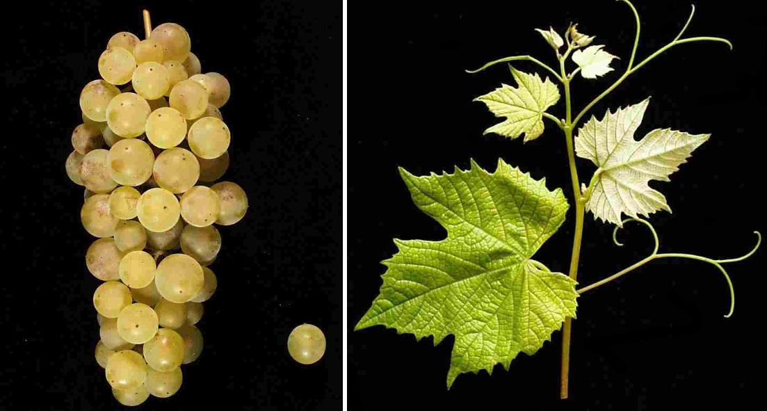 Baco Blanc - grape and leaf