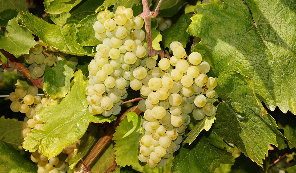 Grünfränkisch - grapes and leaves
