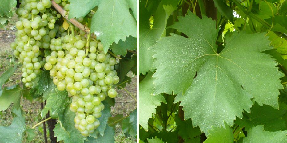Maceratino - grape and leaf