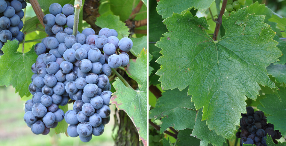 Začinak - grape and leaf
