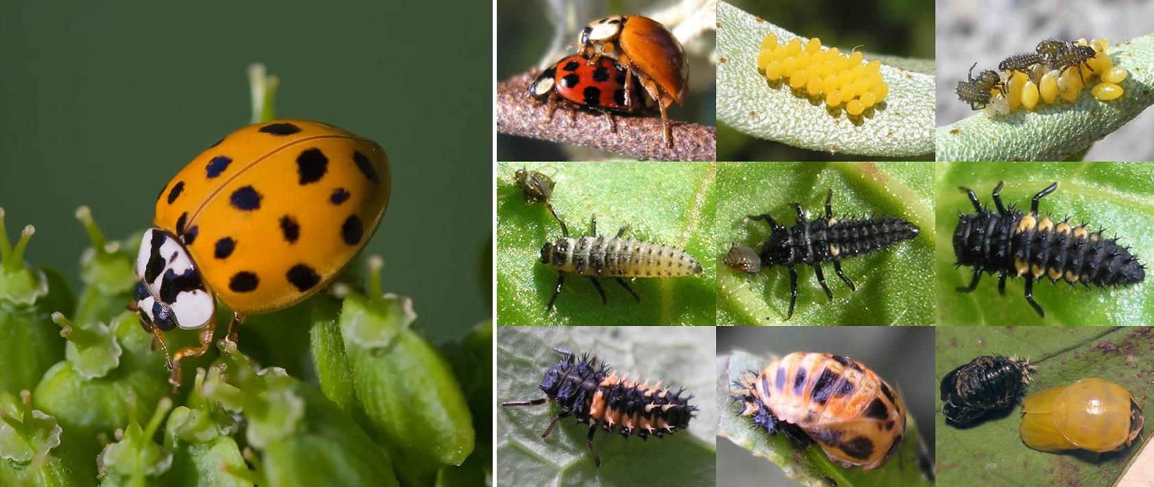 Asian ladybug - beetle and life cycle