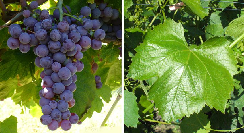 Molinara - grape and leaf