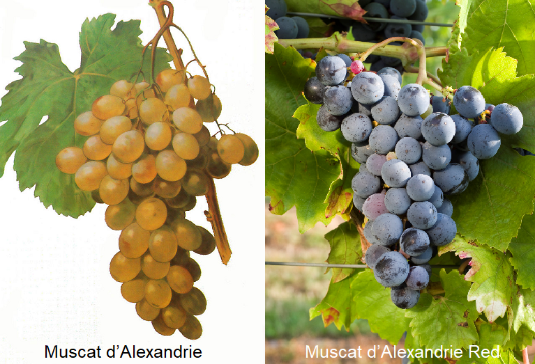 Muscat d'Alexandrie and Muscat d'Alexandrie Red