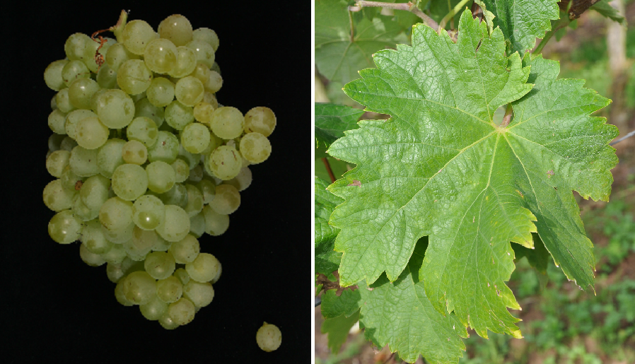 Verjus (Prunesta) - grape and leaf