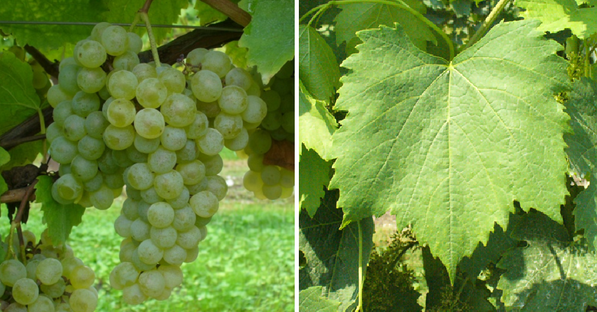 Durella - grape and leaf