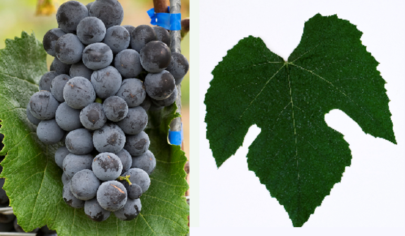 Campbell Early - grape and leaf