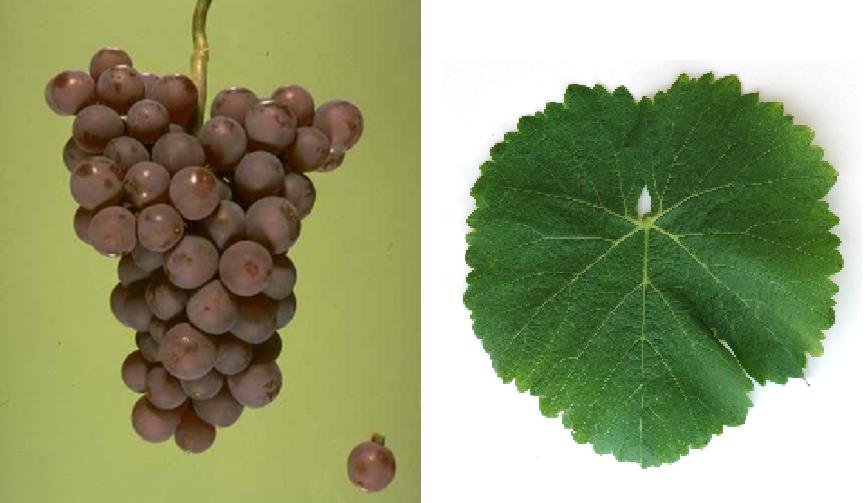 Comtessa - grape and leaf