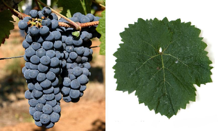 Calandro - grape and leaf
