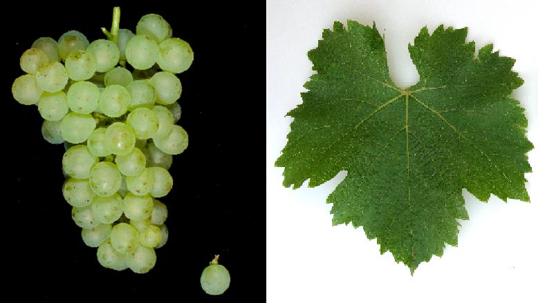 Forta - Weintraube und Blatt