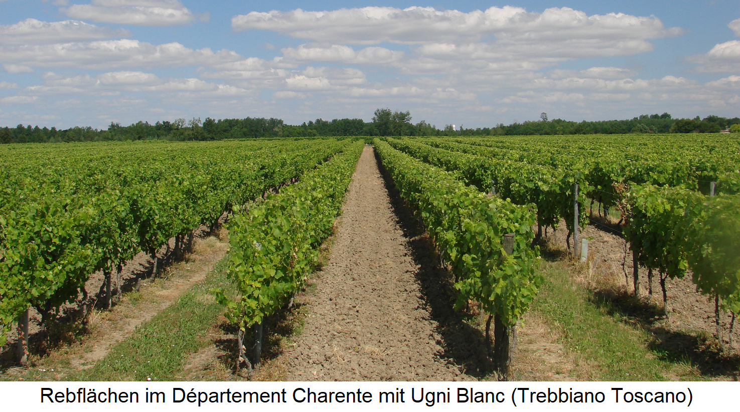Cognac - Vineyards in the department of Charente with Ugni Blanc (Trebbiano Toscano)