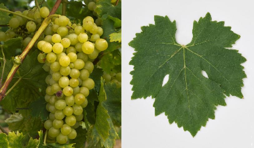 Rubanka - grape and leaf