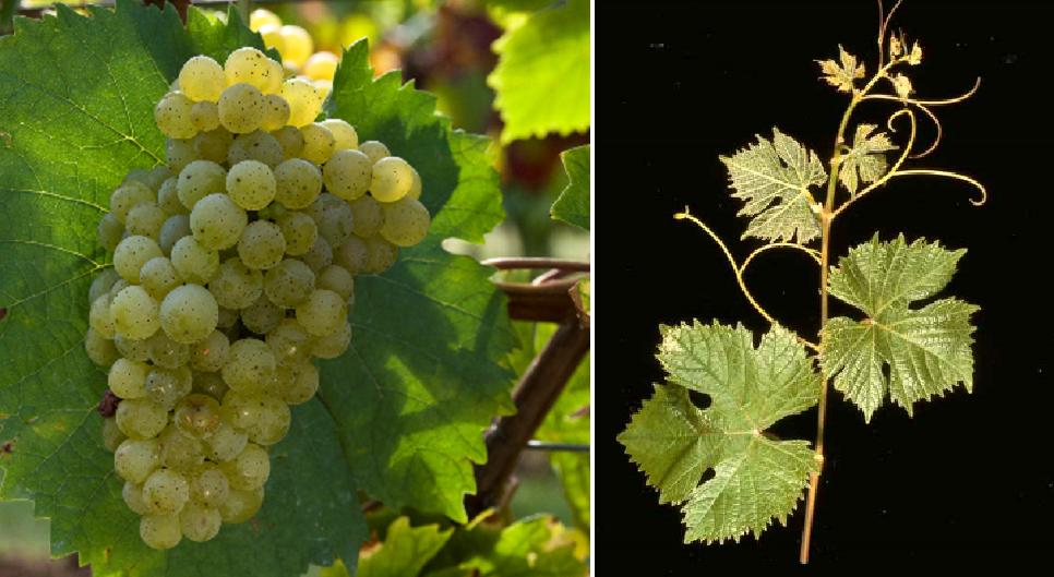 Grando - grape and leaf