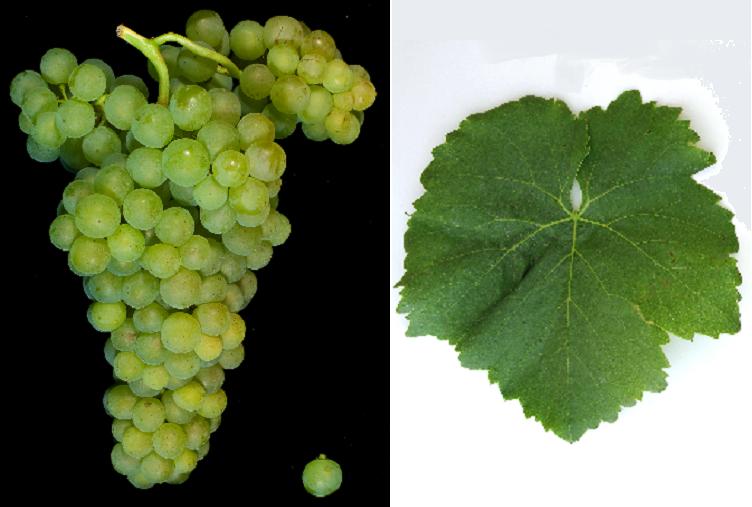 Striking - grape and leaf