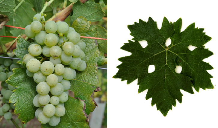 Xynisteri - grape and leaf