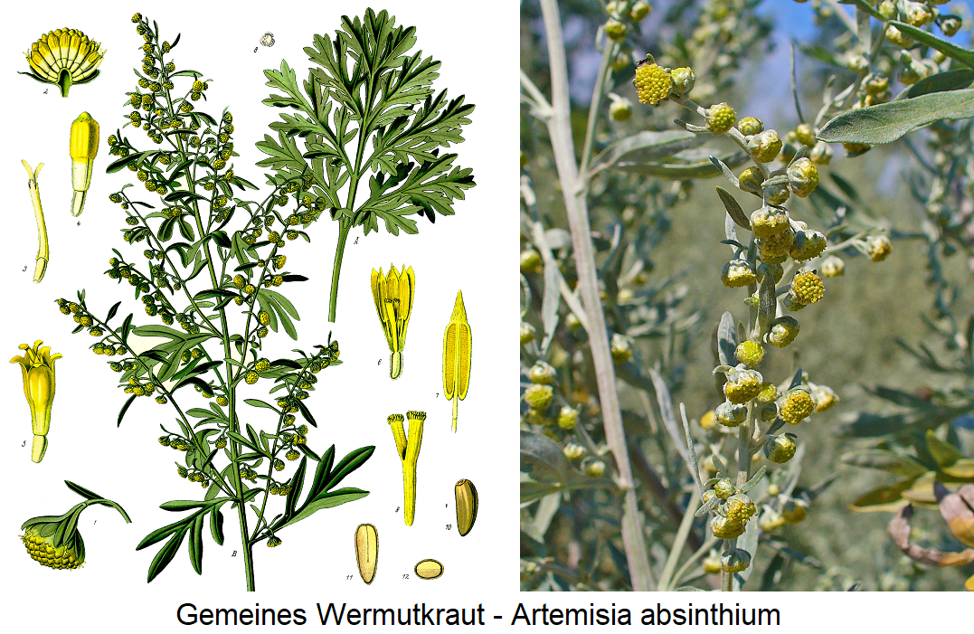 Wormwood - Common wormwood herb (Artemisia absinthium)