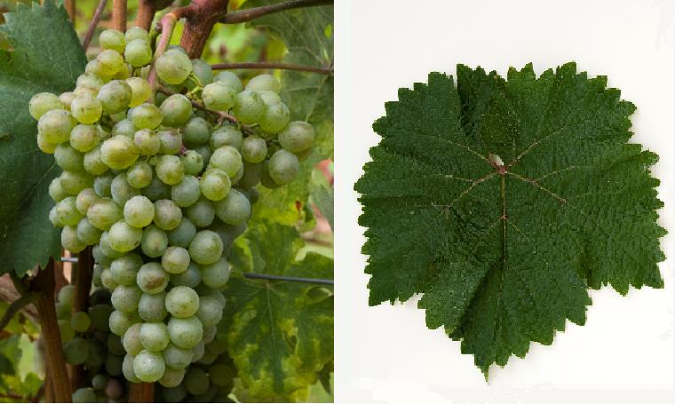 Mtsvane Kakhuri - grape and leaf