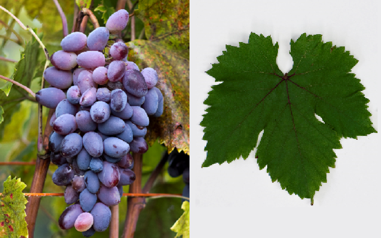 Smuglyanka Moldavskaya - grape and leaf