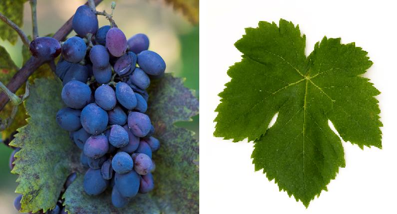 Coarnă Neagra - grape and leaf