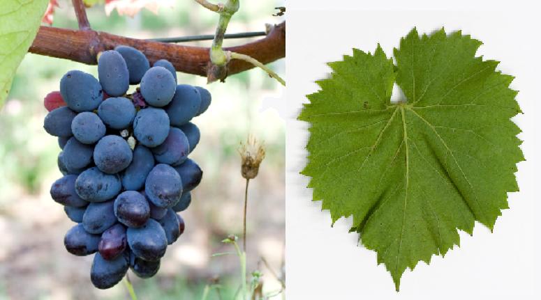 Dekabrskii - Weintraube und Blatt