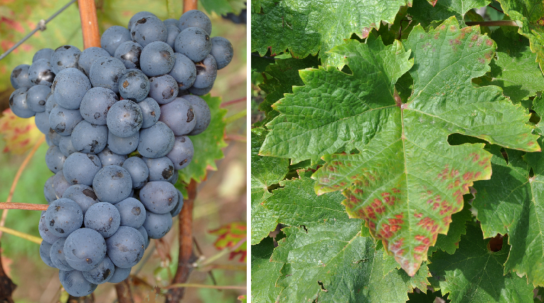 Bătută Neagră - Grape and leaf
