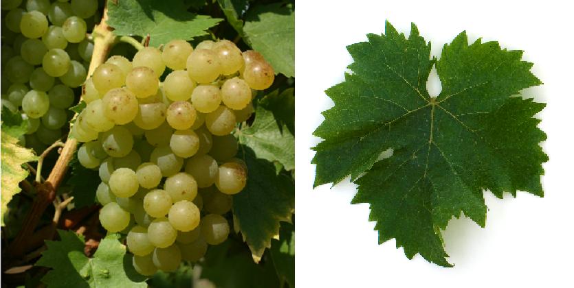 Misket Trakijski - grape and leaf