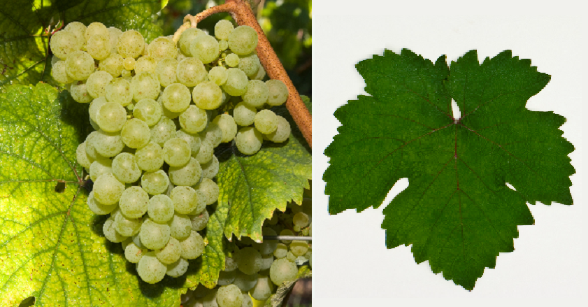 Misket Varnanski - grape and leaf