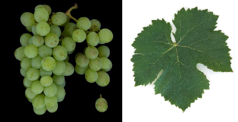 Misket Vrachanski - grape and leaf