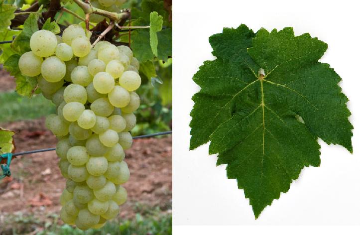 Almeria - Weintraube und Blatt
