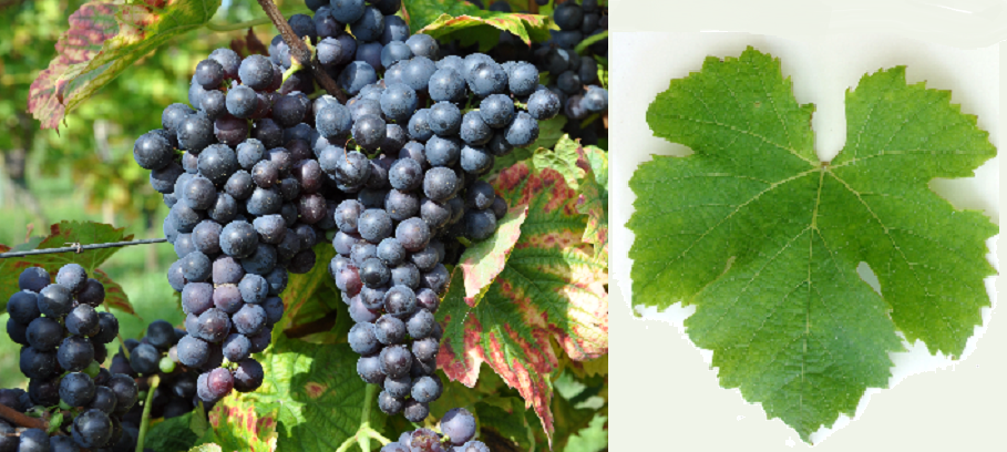 Hitzkircher - grape and leaf
