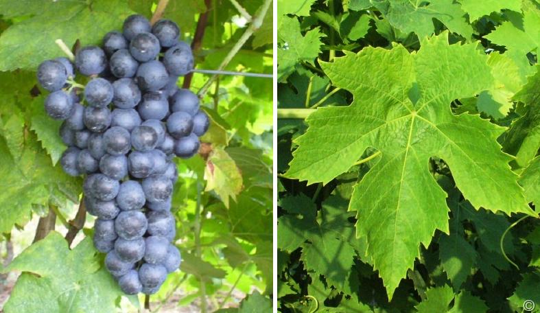 Vien de Nus - grape and leaf