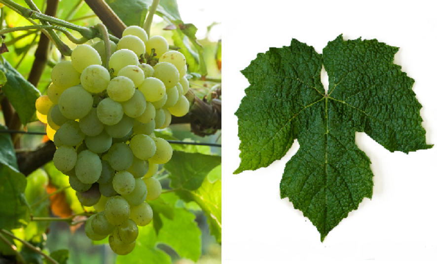 Seneca - grape and leaf