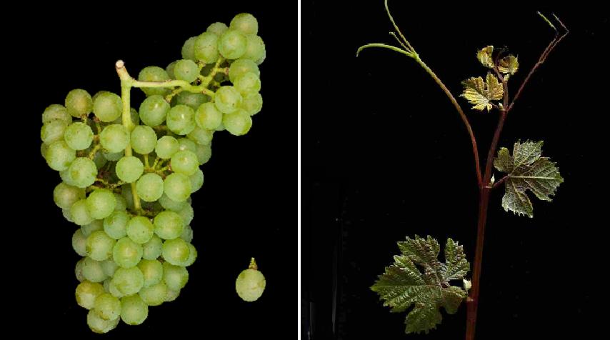 Cantaro - grape and leaf