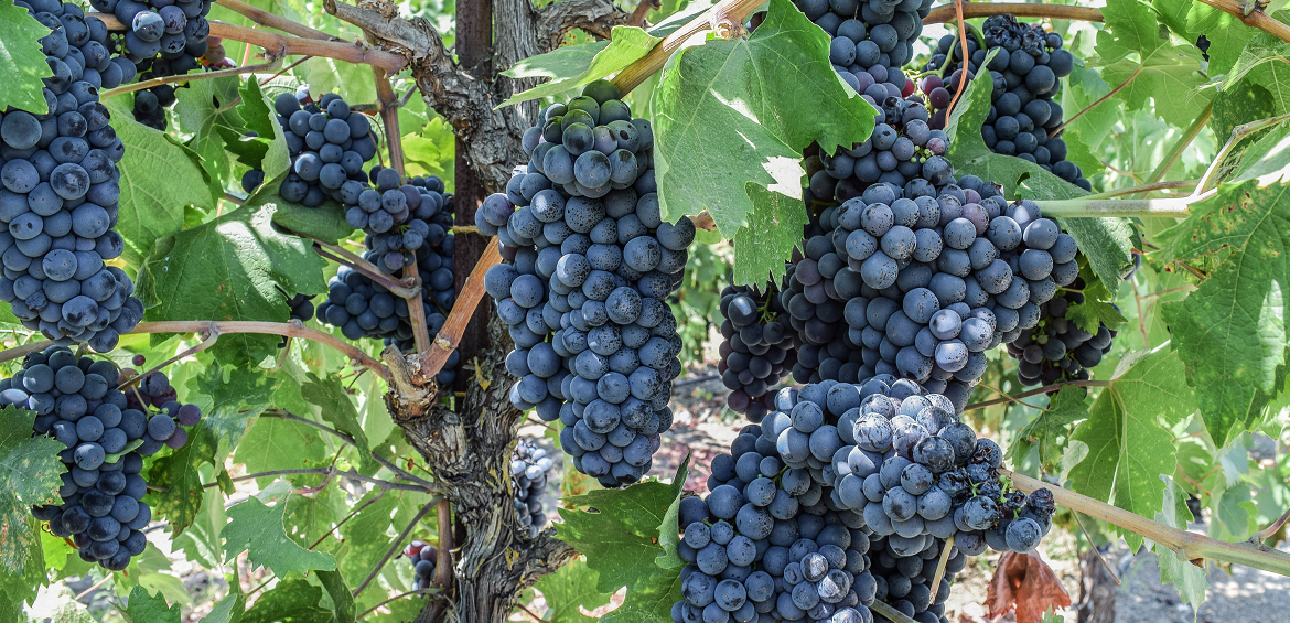 Yield - Vine with many grapes
