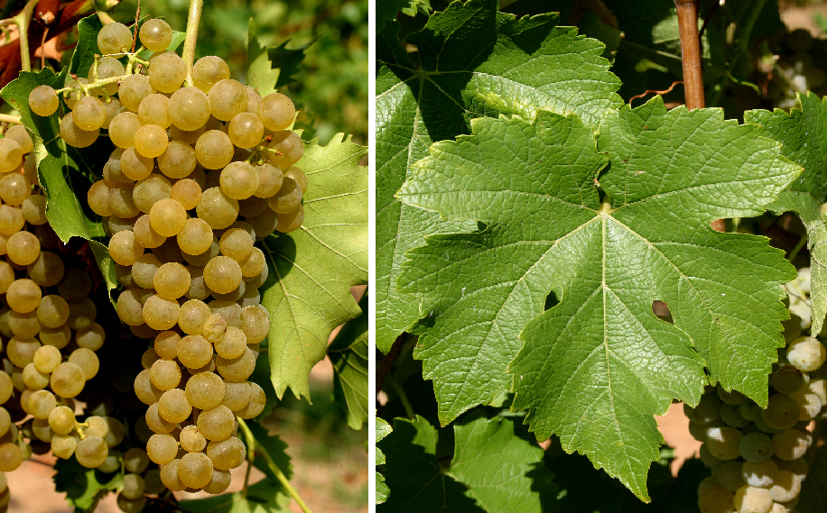 Villaris - grape and leaf
