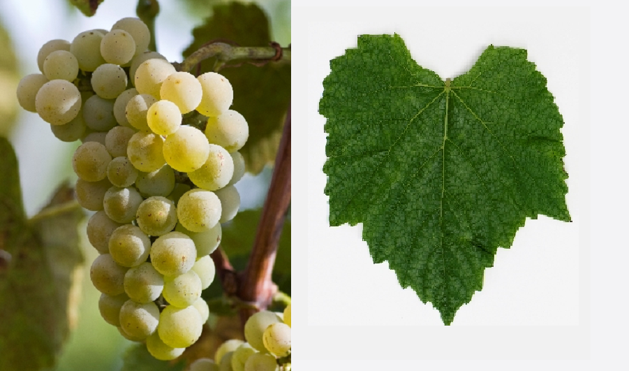 Vivant - grape and leaf