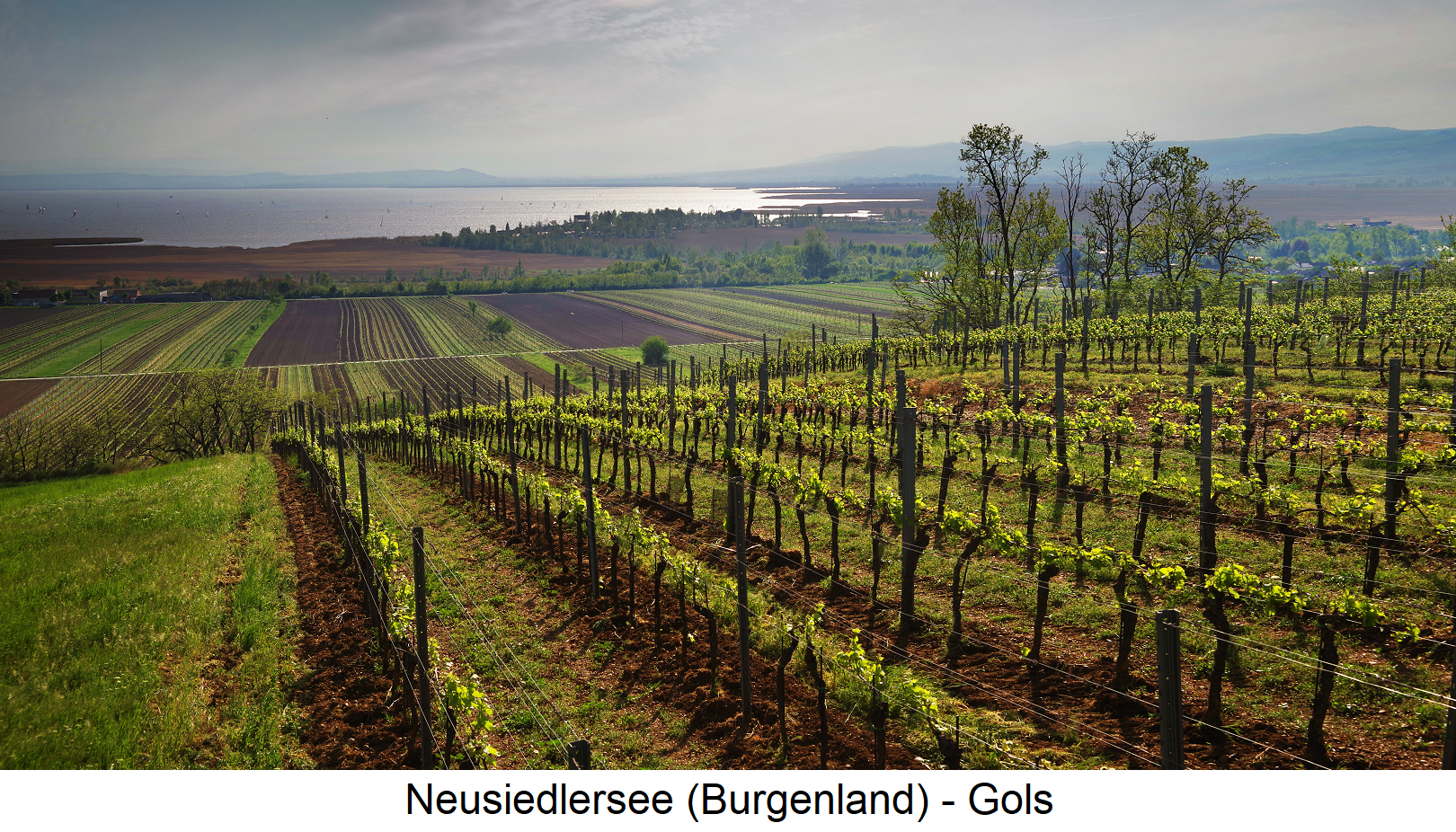 Neusiedlersee - Gols with vineyards