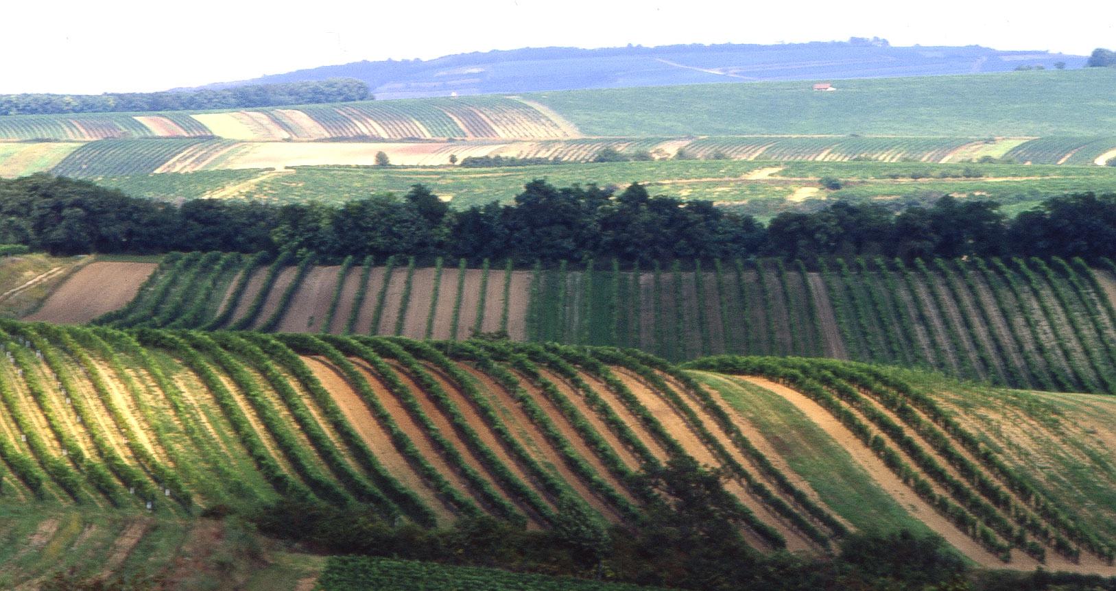 Herrnbaumgarten - vineyards