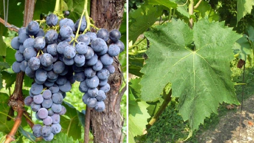 Nero d'Avola - grape and leaf