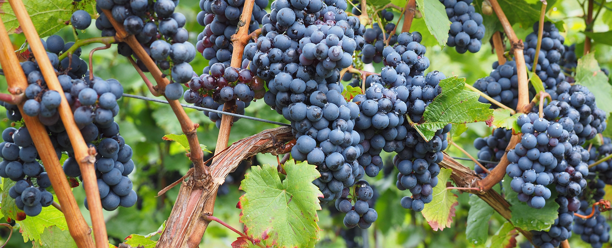 Shoots - blue grapes