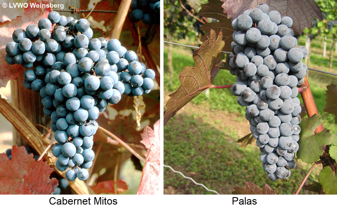Cabernet Mitos - Grapes Cabernet Mitos and Palas