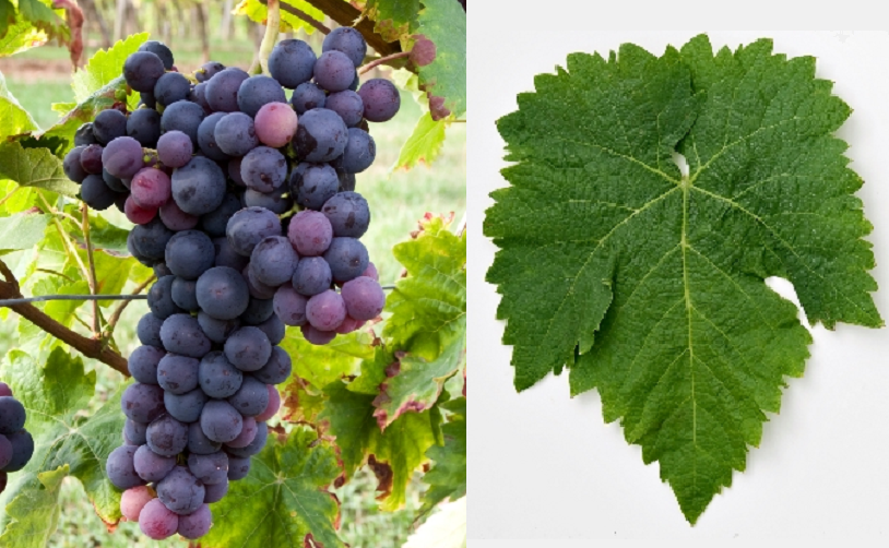 Prince grape - grape and leaf