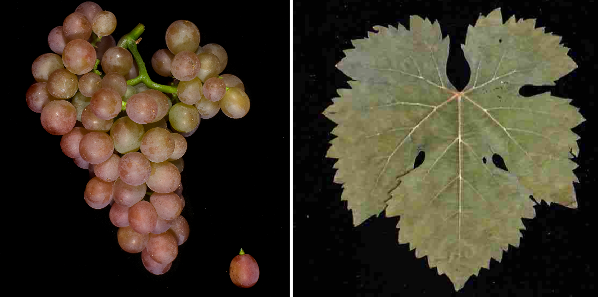 Schönburger - grape and leaf