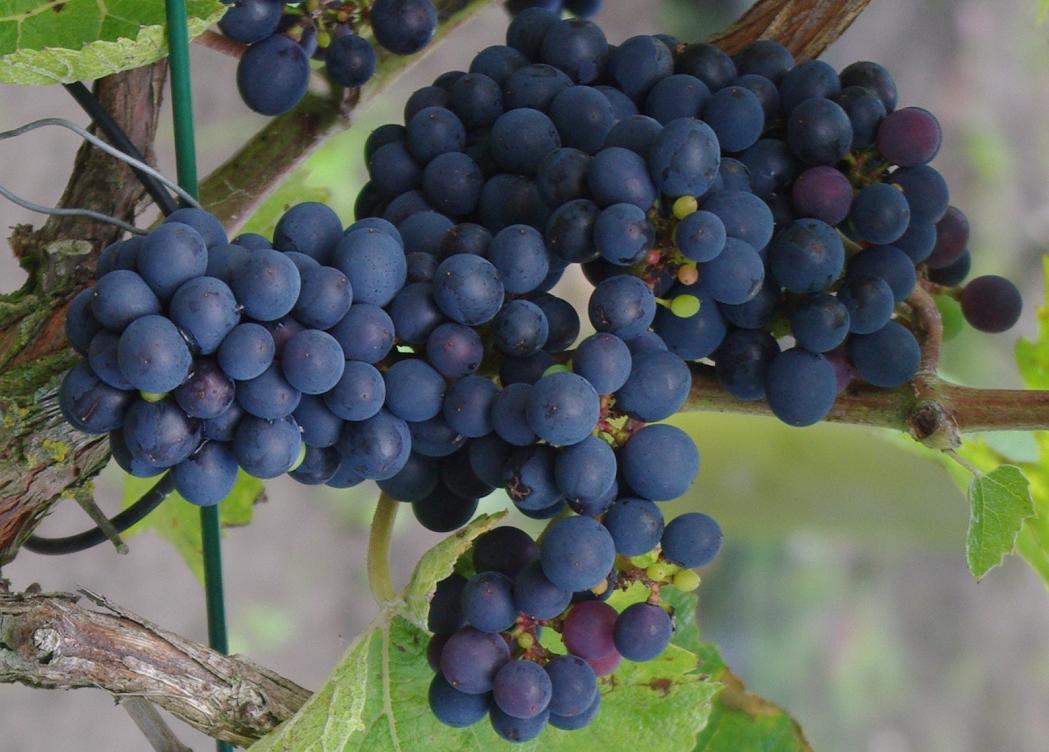 Cabernet Cantor - Grape