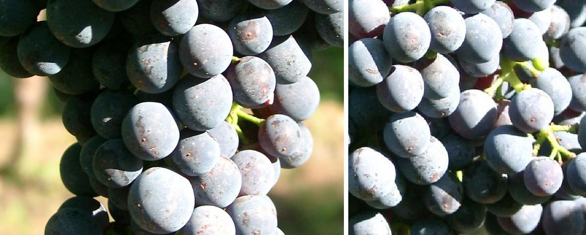 Cabernet Carbon - grapes