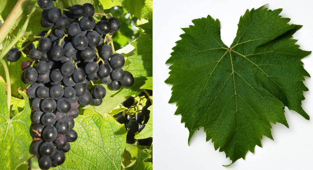 Galante - Weintraube und Blatt