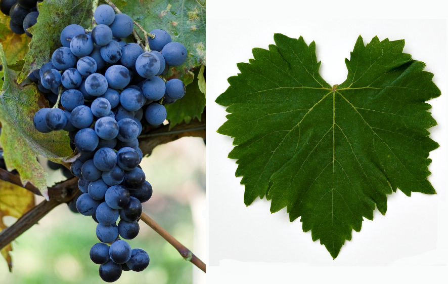 Muscat Bleu - grape and leaf