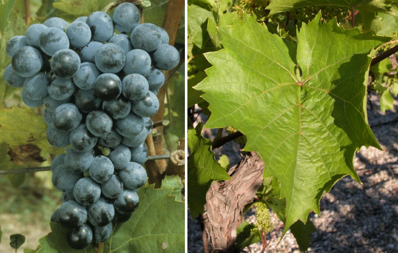 Villard Noir - grape and leaf