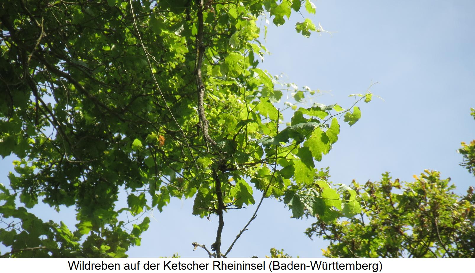 Wild vines on the Ketscher Rhine island (Baden-Württemberg)