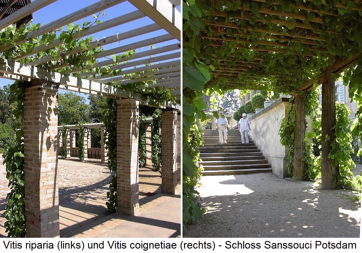 Wild grapes - Vitis riparia and Vitis coignetiae in Sanssouci Palace in Potsdam